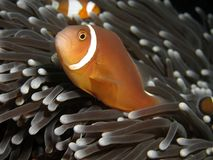 Anemonefish Royalty Free Stock Photography