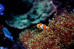 Anemonefish in aquarium Stock Image