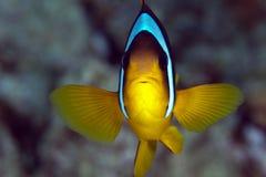 Anemonefish (bicinctus amphiprion) Στοκ εικόνες με δικαίωμα ελεύθερης χρήσης