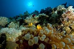 Anemonefish and bubble anemone Stock Photo