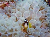 anemonefish clark s Στοκ εικόνα με δικαίωμα ελεύθερης χρήσης