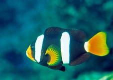 anemonefish clark s Στοκ Εικόνα