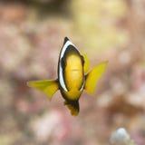 anemonefish clark s Στοκ Φωτογραφίες
