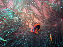Anemonefish or Clown fish in their natural habitat. A typical clown fish spotted at its natural habitat in a tropical saltwater ocean Stock Image