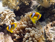 Anemonefish / Clownfish. Anemonefish (clownfish) and anemone Royalty Free Stock Photography
