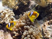 Anemonefish/Clownfish Lizenzfreie Stockfotografie