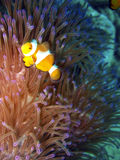Anemonefish / Clownfish. Anemonefish (clownfish) and anemone. - Amphiprion Ocellaris royalty free stock image