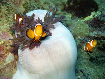 Anemonefish / Clownfish Royalty Free Stock Photo