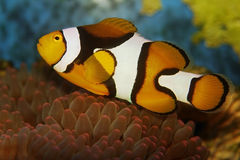 anemonefish clownfish Στοκ Εικόνες
