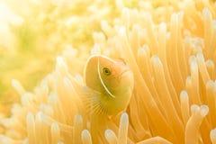 Anemonefish clownfish Στοκ φωτογραφία με δικαίωμα ελεύθερης χρήσης