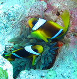 Anemonefish or clownfish couple in the Red Sea Stock Image