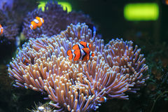 Anemonefish Stock Photo