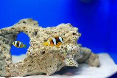 Anemonefish. Clownfish or anemonefish are fishes from the subfamily Amphiprioninae in the family Pomacentridae. Thirty species are recognized: one in the genus Stock Images