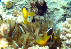 Anemonefish of clownfish in het Rode Overzees Royalty-vrije Stock Fotografie