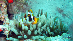 Anemonefish or clownfish in the Red Sea. Anemonefish or clownfish couple hiding in anemone in the Red Sea of Egypt Royalty Free Stock Image