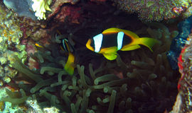 Anemonefish or clownfish in the Red Sea. Anemonefish in the Red Sea of Egypt. Hiding in the anemone Royalty Free Stock Image