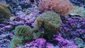 Anemonefish clownfish, sealife sceneria z koralami zbiory wideo