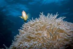Anemonefish cor-de-rosa imagens de stock royalty free