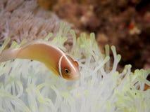 Anemonefish cor-de-rosa em Anilao, Filipinas fotos de stock royalty free