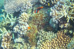 Anemonefish in coral reef. Tropical seashore inhabitants underwater photo. Coral reef clownfish. Tropical sea nature. Colorful sea fish and corals. Undersea Stock Photo