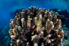 Anemonefish and Corals in Pacific Ocean Stock Photo