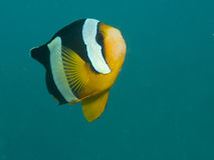 Anemonefish de Clark, clarkii do Amphiprion Foto de Stock