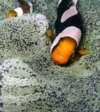 Anemonefish de la ensillada Fotos de archivo