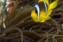Anemonefish de la Mer Rouge (bicinctus d'Amphipiron) Image stock