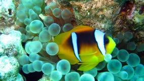 Anemonefish del Clark nel Mar Rosso dell'Egitto Fotografia Stock Libera da Diritti