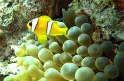 Anemonefish del Clark nel Mar Rosso dell'Egitto Immagini Stock Libere da Diritti