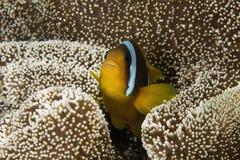 Anemonefish del Mar Rojo Fotografía de archivo