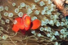 Anemonefish della spina dorsale-cheeked, o clownfish immagine stock