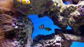 Anemonefish do palhaço ou ocellaris falsos do Amphiprion do nemo vídeos de arquivo