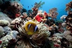 Anemonefish et anémone en Mer Rouge image libre de droits