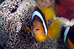 Anemonefish in a Haddon's anemone Royalty Free Stock Images