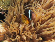 Anemonefish hiding in an Anemone. Red Sea Anemonefish (clownfish) hiding in an Anemone Stock Photo