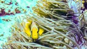 Anemonefish hiding in its anemone, Maldives. royalty free stock photos