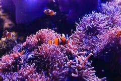 Anemonefish i denny anemon obrazy stock