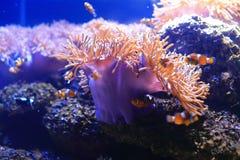 Anemonefish i denny anemon zdjęcia stock