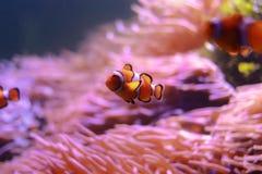 Anemonefish im Aquarium Lizenzfreies Stockfoto