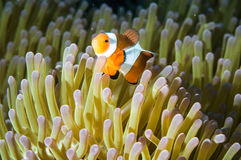 Anemonefish kapoposang Indonesia hiding inside anemone diver Royalty Free Stock Photo