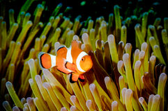 Anemonefish kapoposang Indonesia hiding inside anemone diver Stock Photos