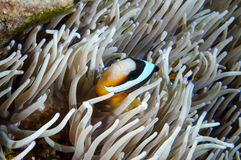 Anemonefish kapoposang Indonesia hiding inside anemone diver Royalty Free Stock Images
