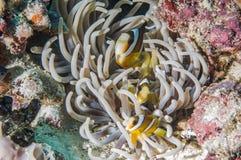 Anemonefish kapoposang Indonesia hiding inside anemone diver Royalty Free Stock Photo