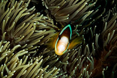 Anemonefish kapoposang Indonesia hiding inside anemone diver Stock Photo
