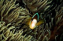 Anemonefish kapoposang Indonezja chuje inside anemonowego nurka Zdjęcie Stock