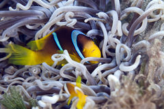 Anemonefish in a leathery anemone. Stock Image