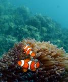 Anemonefish mot koraller Arkivbild