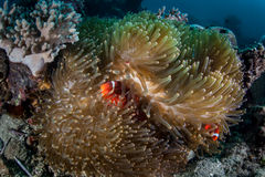 Anemonefish nell'anemone ospite Immagini Stock Libere da Diritti
