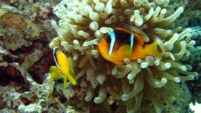 Anemonefish o clownfish del Clark nel Mar Rosso Fotografia Stock